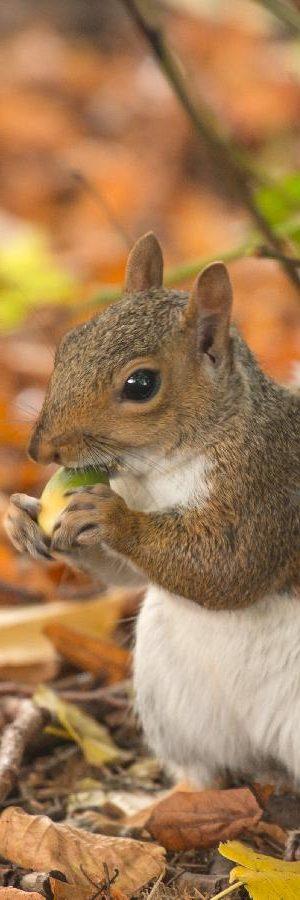 Ecureuil qui mange -Les premiers soins pour un animal en détresse