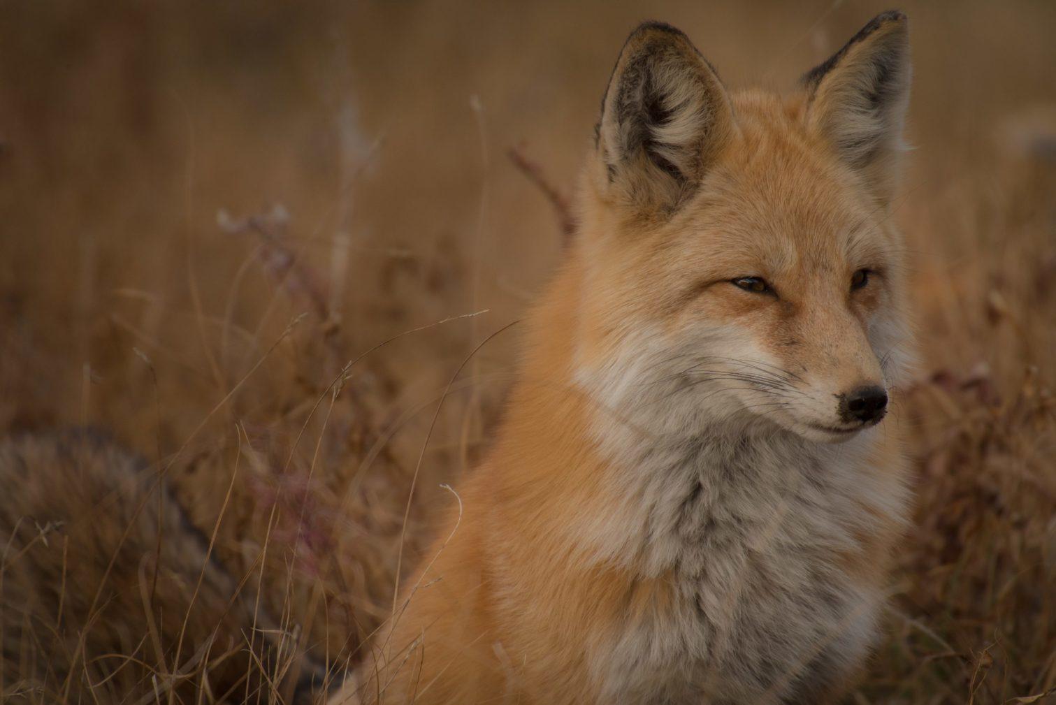 Photo d'un renard - centre de soins Takoda